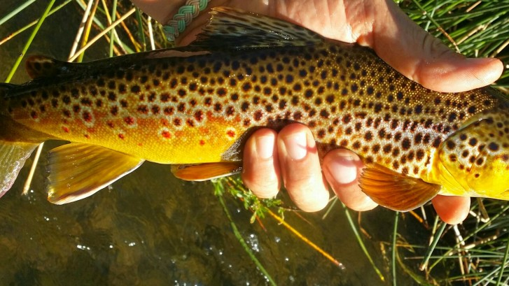 Beautiful yellow Brown Trout in Hand on the East Walker RIver