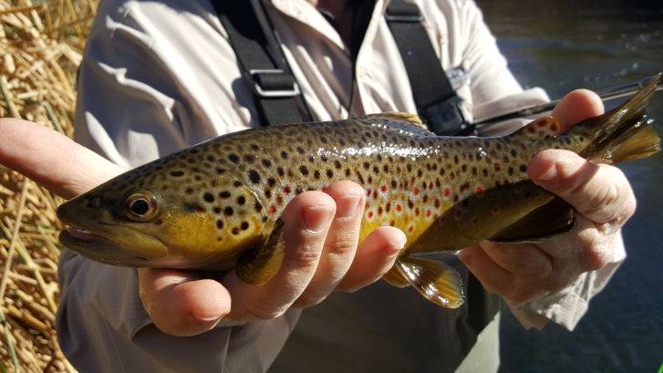 Lower Owens River Fly Fishing guide, eastern Sierra Fly fishing, Mammoth Lakes Fly Fishing guide