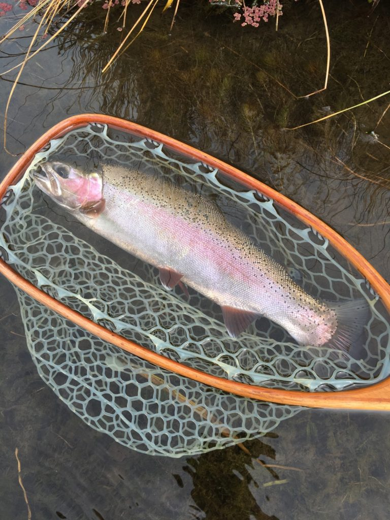 Another beauty of a Trout caught by STM Fly Fishing