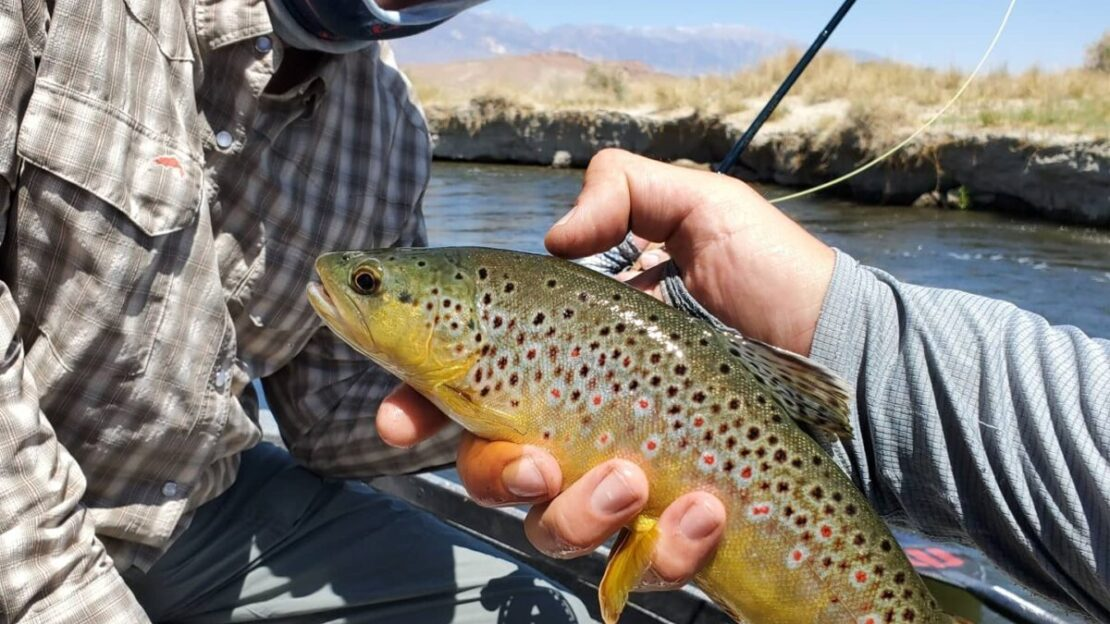 brown trout on the lower owens river near bishop california on a fly